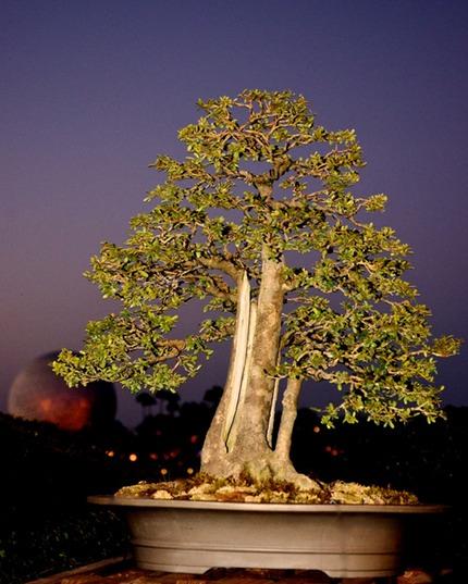 Jason Schley Neea Buxifolia Saltwood Fort Walton Beach Bonsai Society Mlf